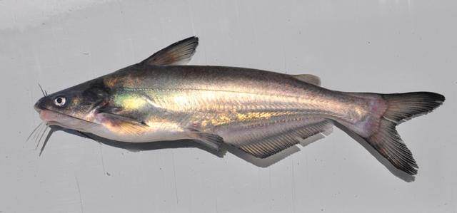 Blue catfish ohio fish guide for Ohio state fish