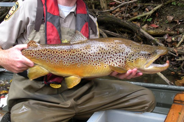 Brown trout ohio fish guide for Trout fishing in ohio