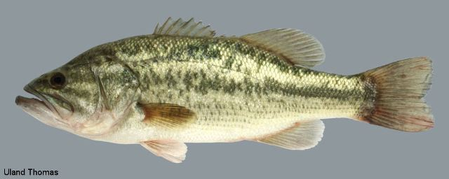 Largemouth bass ohio fish guide for Bass fishing in ohio
