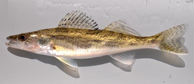 Saugeye ohio fish guide for Fish hatchery ohio