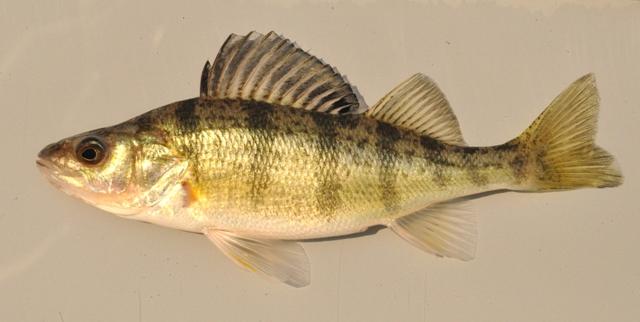 Yellow Perch- Ohio Fish Guide