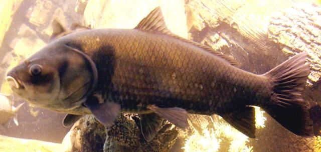 Bigmouth buffalo ohio fish guide for What is a buffalo fish