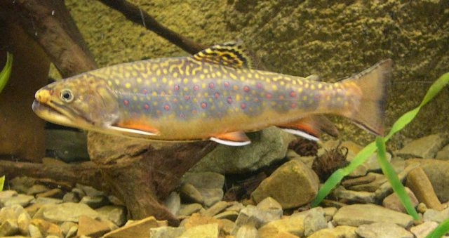 Brook trout ohio fish guide for Ohio state fish